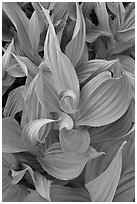 Corn lillies close-up. Yosemite National Park, California, USA. (black and white)