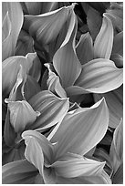 Corn lilly leaves. Yosemite National Park, California, USA. (black and white)