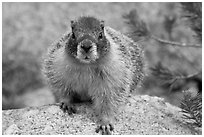 Front view of marmot. Yosemite National Park, California, USA. (black and white)