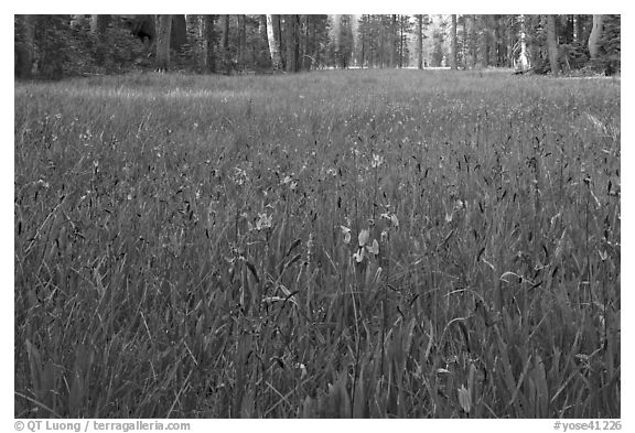 Blue wildflowers in meadow, Yosemite Creek. Yosemite National Park (black and white)