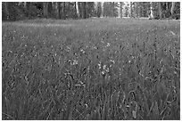 Blue wildflowers in meadow, Yosemite Creek. Yosemite National Park ( black and white)
