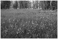 Meadow covered with purple summer flowers, Yosemite Creek. Yosemite National Park ( black and white)