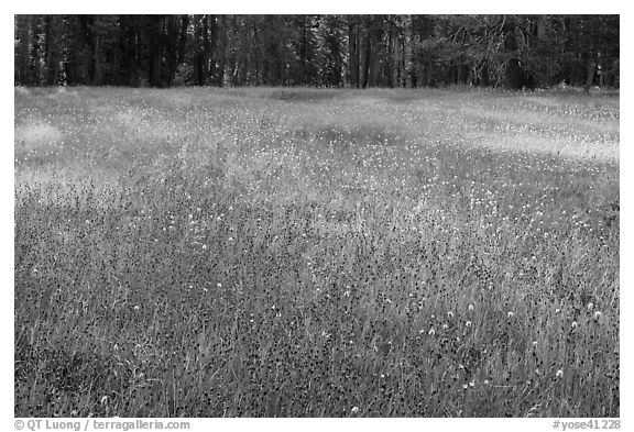 Summer wildflowers in meadow, Yosemite Creek. Yosemite National Park (black and white)