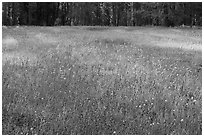 Summer wildflowers in meadow, Yosemite Creek. Yosemite National Park ( black and white)