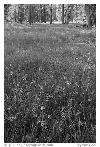 Meadow with carpet of purple summer flowers, Yosemite Creek. Yosemite National Park (black and white)
