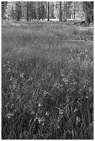 Meadow with carpet of purple summer flowers, Yosemite Creek. Yosemite National Park ( black and white)