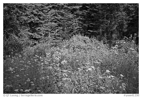 Yellow flowers and lupine at forest edge, Yosemite Creek. Yosemite National Park (black and white)