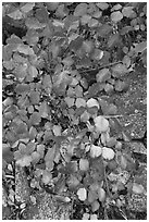 Leaves and rock, Hetch Hetchy. Yosemite National Park, California, USA. (black and white)