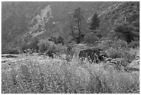 Flowers and trees, Hetch Hetchy. Yosemite National Park, California, USA. (black and white)