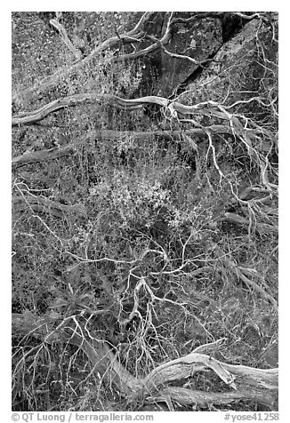 Dead branches, brush, and rock, Hetch Hetchy. Yosemite National Park (black and white)
