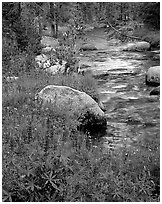 Lupine and stream, Tuolumne meadows. Yosemite National Park, California, USA. (black and white)