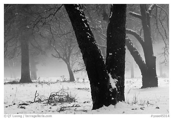 Black oaks, snow, and fog, El Capitan Meadow. Yosemite National Park, California, USA.