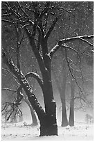 Black oaks in winter fog, El Capitan Meadow. Yosemite National Park, California, USA. (black and white)