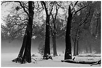 Group of oaks in El Capitan Meadow with winter fog. Yosemite National Park, California, USA. (black and white)