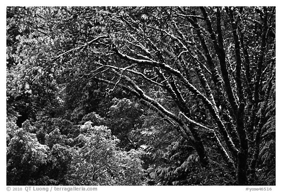 Branches with new leaves and snow. Yosemite National Park (black and white)