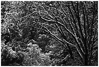 Branches with new leaves and snow. Yosemite National Park, California, USA. (black and white)
