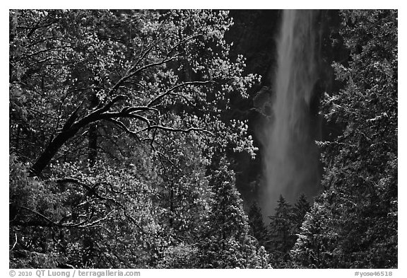 Bridalveil Fall framed by snowy trees with new leaves. Yosemite National Park (black and white)