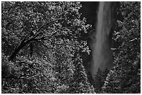 Bridalveil Fall framed by snowy trees with new leaves. Yosemite National Park, California, USA. (black and white)