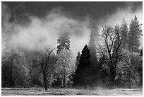 Fog lifting above trees in spring. Yosemite National Park ( black and white)