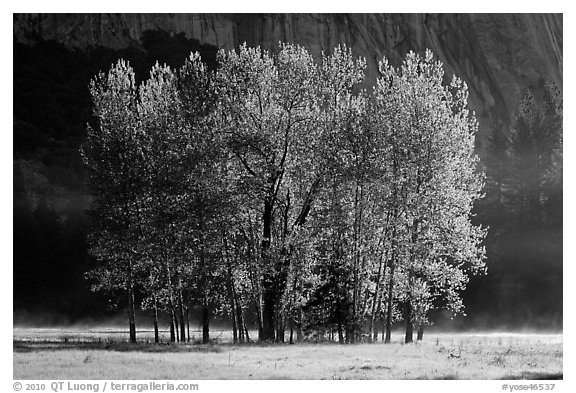 Aspens with new leaves in spring. Yosemite National Park (black and white)