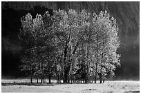 Aspens with new leaves in spring. Yosemite National Park, California, USA. (black and white)