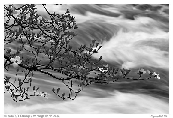Dogwood branch and Merced River rapids. Yosemite National Park (black and white)
