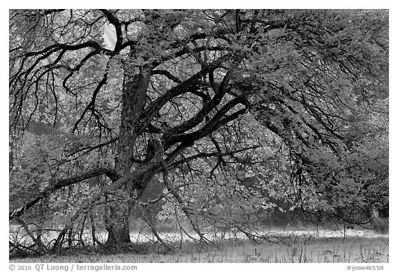 Elm tree in spring. Yosemite National Park (black and white)
