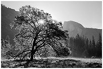 Sun through Elm Tree in the spring. Yosemite National Park, California, USA. (black and white)