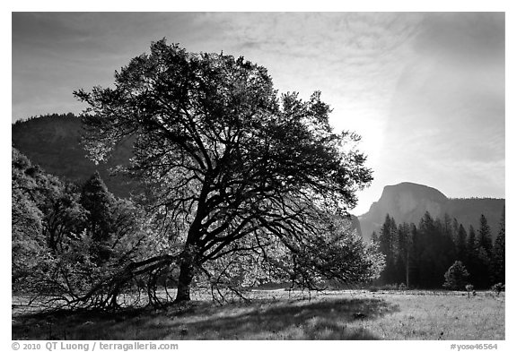 Cooks Meadow, Elm Tree, and Half-Dome. Yosemite National Park (black and white)