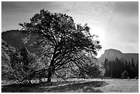 Cooks Meadow, Elm Tree, and Half-Dome. Yosemite National Park, California, USA. (black and white)