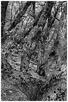 Gnarled Oak tree branches. Yosemite National Park, California, USA. (black and white)