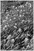 Wildflowers. Yosemite National Park, California, USA. (black and white)