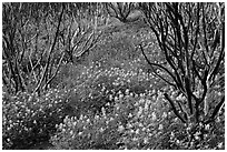 Burned manzanita and spring wildflowers. Yosemite National Park ( black and white)