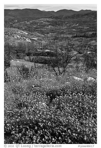Wildflowers near Foresta. Yosemite National Park (black and white)