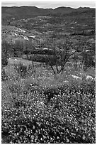 Wildflowers near Foresta. Yosemite National Park ( black and white)