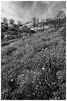 Wildflowers in burned area. Yosemite National Park ( black and white)