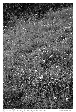 Wildflower-covered slope. Yosemite National Park (black and white)