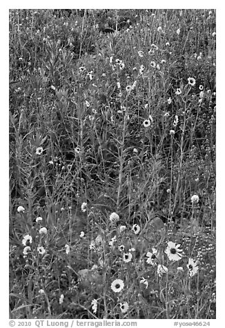 Sunflowers and lupine. Yosemite National Park (black and white)