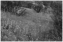 Burned slope covered by thick wildflower carpet. Yosemite National Park ( black and white)