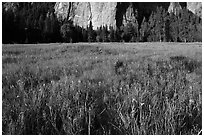Irises, flooded El Capitan Meadow, and Cathedral Rocks. Yosemite National Park, California, USA. (black and white)
