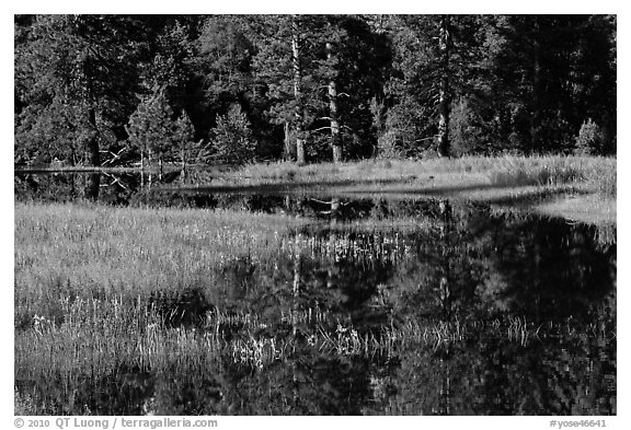 Irises and seasonal pond, El Capitan Meadow. Yosemite National Park (black and white)