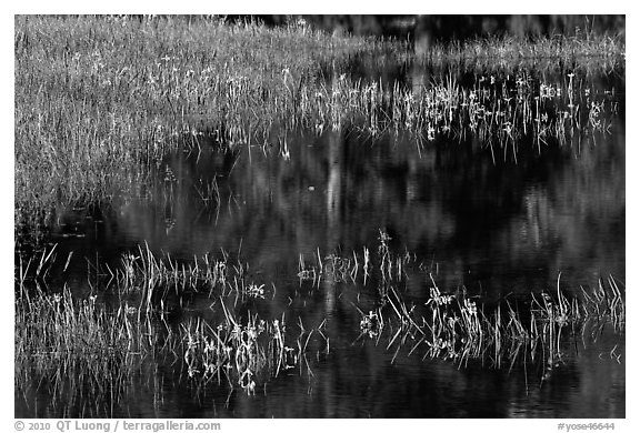 Irises, seasonal pond, and reflections. Yosemite National Park (black and white)