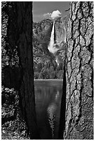 Ponderosa Pine Trees framing Yosemite Falls. Yosemite National Park ( black and white)