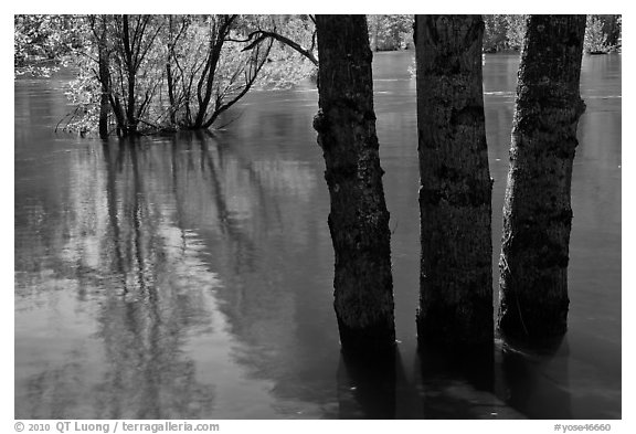 Flooded trees and Merced River. Yosemite National Park (black and white)