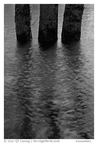 Three flooded tree trunks. Yosemite National Park (black and white)