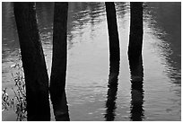 Four flooded tree trunks. Yosemite National Park, California, USA. (black and white)