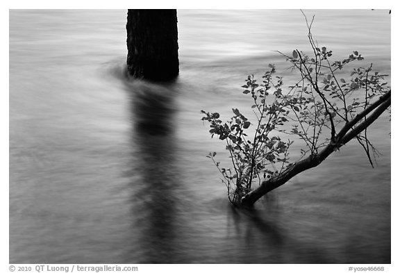 Flooded tree and branch at sunset. Yosemite National Park (black and white)