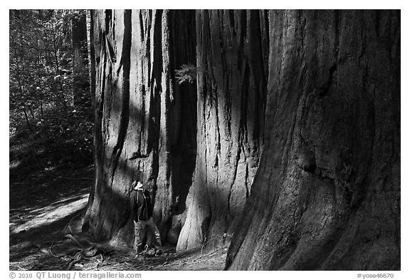 Hiker at the base of sequoias in Merced Grove. Yosemite National Park (black and white)