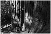 Hiker at the base of sequoias in Merced Grove. Yosemite National Park, California, USA. (black and white)