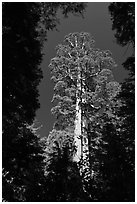 Giant sequoia in Merced Grove. Yosemite National Park ( black and white)